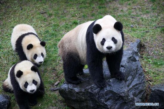Pairi Daiza zoo hosts five giant pandas in Brugelette, Belgium